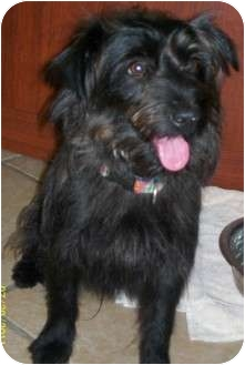 Yorkie, Yorkshire Terrier/Poodle (Miniature) Mix Dog for adoption in Appleton, Wisconsin - Shadow