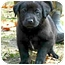 Photo 1 - Labrador Retriever Mix Puppy for adoption in Preston, Connecticut - Chip