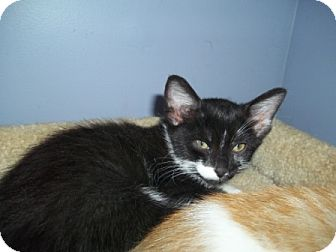 Domestic Mediumhair Kitten for adoption in Concord, North Carolina - Scooter