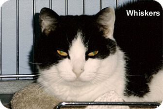 Domestic Shorthair Cat for adoption in Medway, Massachusetts - Whiskers