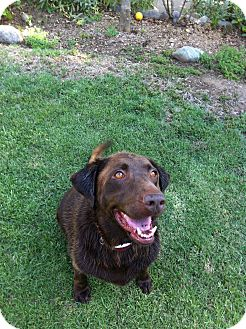 Labrador Retriever Dog for adoption in Burbank, California - Layla - LOVES Dogs, Kids! A+++