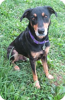 Doberman Pinscher/Rottweiler Mix Dog for adoption in New Richmond, Ohio - Rudi--pending