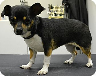 Chihuahua Dog for adoption in Troy, Ohio - Selena~Adopted