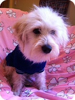 Maltese/Poodle (Miniature) Mix Puppy for adoption in Irvine, California - SHANE