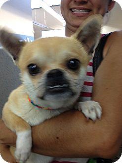Chihuahua/French Bulldog Mix Dog for adoption in Las Vegas, Nevada - Carlton