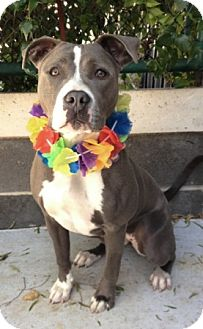 Pit Bull Terrier Mix Dog for adoption in Dublin, California - Roo
