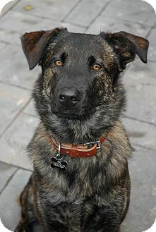 Dutch Shepherd/Labrador Retriever Mix Dog for adoption in Jamestown, California - Pepe in SC