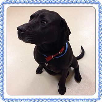 Labrador Retriever Mix Dog for adoption in Marietta, Georgia - SHANE- SEE VIDEO!