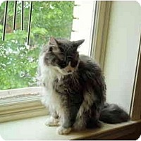 Adopt A Pet :: Charlie Bear - Arlington, VA