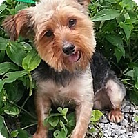 Adopt A Pet :: Dillon - Brattleboro, VT