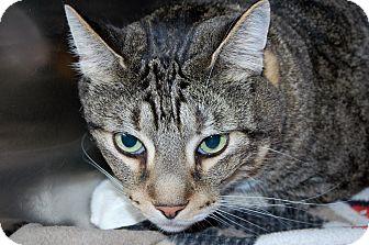 Domestic Shorthair Cat for adoption in Bradenton, Florida - Buster