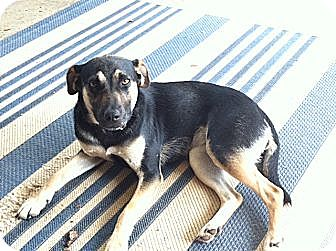 Miniature Pinscher/Terrier (Unknown Type, Medium) Mix Dog for adoption in Marietta, Georgia - Sadie