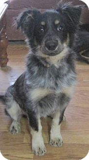 Australian Shepherd Mix Puppy for adoption in Houston, Texas - SKID (ADOPTION PENDING)