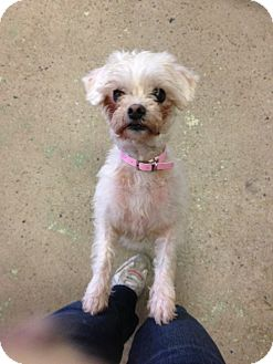 Maltese/Miniature Poodle Mix Dog for adoption in Barrie, Ontario - Bitty - Courtesy Post