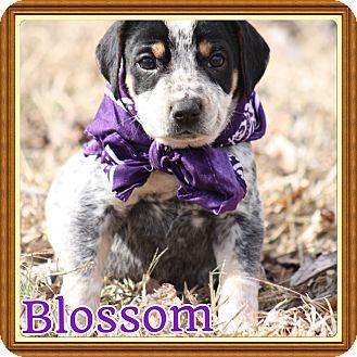 Blue Heeler/Catahoula Leopard Dog Mix Puppy for adoption in Brattleboro, Vermont - Blossom