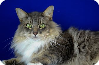 Maine Coon Cat for adoption in LAFAYETTE, Louisiana - PIDY KAI