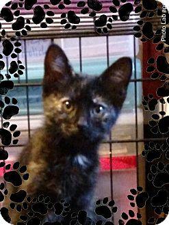 Domestic Shorthair Kitten for adoption in Pueblo West, Colorado - Brandy