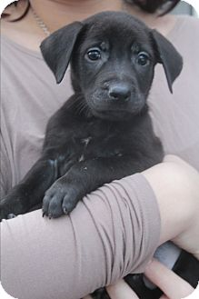 Labrador Retriever/Boxer Mix Puppy for adoption in Allentown, Pennsylvania - Jack