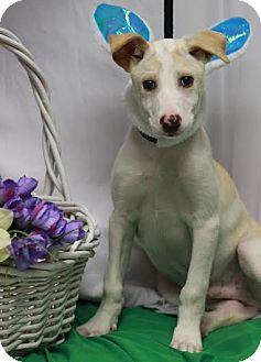 Collie/Labrador Retriever Mix Puppy for adoption in Twin Falls, Idaho - Baxter