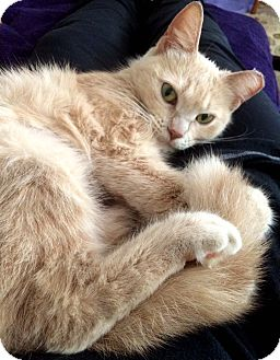 Domestic Mediumhair Cat for adoption in Lombard, Illinois - Blondie