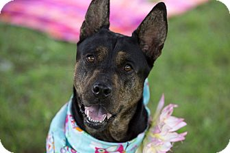 Shepherd (Unknown Type)/Chow Chow Mix Dog for adoption in Flint, Michigan - Maddie - Adopted