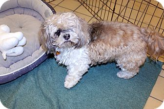 Shih Tzu Mix Dog for adoption in Lumberton, North Carolina - Ginger