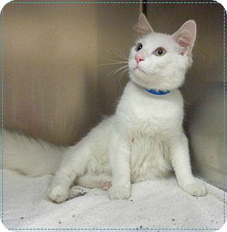 Domestic Mediumhair Cat for adoption in Marietta, Georgia - CHIP (R)