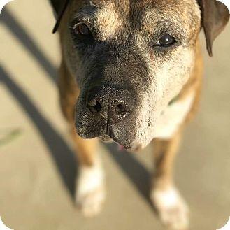 Boxer/Labrador Retriever Mix Dog for adoption in Los Angeles, California - Fae