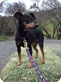 Miniature Pinscher Mix Dog for adoption in Clayton, California - Roxy Autumn