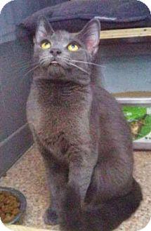 Russian Blue Cat for adoption in THORNHILL, Ontario - Juniper