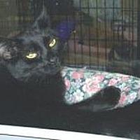 Domestic Mediumhair Cat for adoption in Miami, Florida - Tiny
