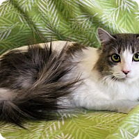 Domestic Longhair Cat for adoption in Greensboro, North Carolina - JUliet