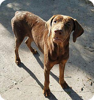Doberman Pinscher Dog for adoption in Chiefland, Florida - Java