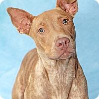 Adopt A Pet :: Sugar Magnolia - Encinitas, CA