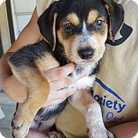 Adopt A Pet :: Scout - Olympia, WA