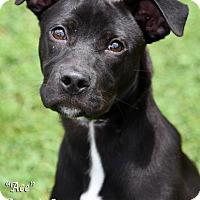 Adopt A Pet :: Ace - Newnan City, GA