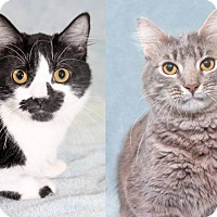 Domestic Longhair Cat for adoption in Encinitas, California - Robin & Batman (Bonded Pair)