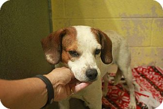 Beagle Mix Dog for adoption in Sparta, New Jersey - Mist - available 9/19