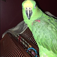 Adopt A Pet :: JoJo - Sylmar, CA