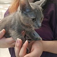 Adopt A Pet :: Grey Joy - Indianapolis, IN