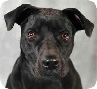 Labrador Retriever/American Pit Bull Terrier Mix Dog for adoption in Chicago, Illinois - Nala