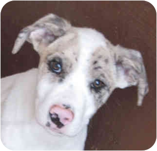 Australian Cattle Dog/Labrador Retriever Mix Puppy for adoption in Poway, California - Piglet Pie & Pookie