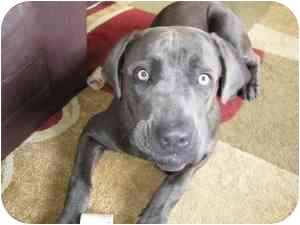 Cane Corso Puppy for adoption in New York, New York - Luna-NY