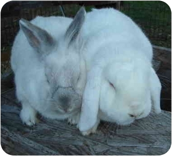 Lop-Eared for adoption in Santee, California - Mr. Sprinkles