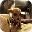 Photo 2 - Chihuahua Puppy for adoption in Wilminton, Delaware - Jezzabelle