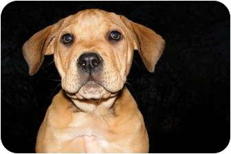 Labrador Retriever/Shar Pei Mix Puppy for adoption in Greensboro, Georgia - Dozer