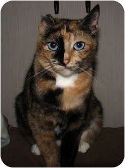 Domestic Shorthair Cat for adoption in Norwich, New York - Crystal