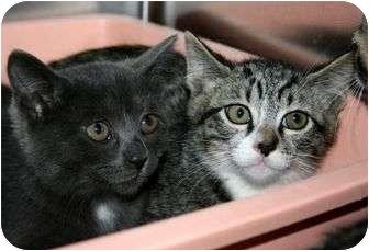 Domestic Shorthair Kitten for adoption in Canoga Park, California - Justin