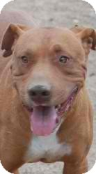 Pit Bull Terrier Mix Dog for adoption in Anza, California - Jackie Male