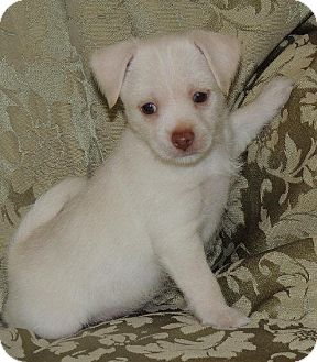 Jack Russell Terrier/Beagle Mix Puppy for adoption in La Habra Heights, California - Archie